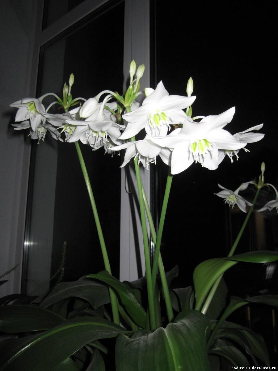 Комнатные цветы фото и названия на букву п